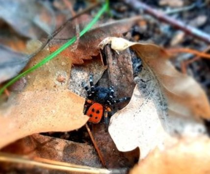 Небезпечного павука знайшли у листі