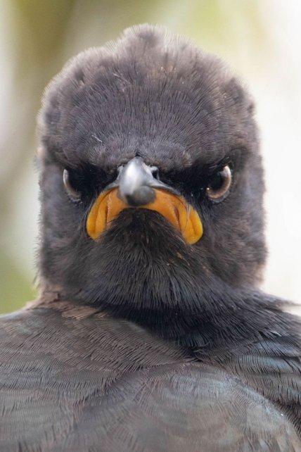 Сердитый скворец