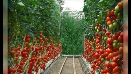 Тепличные овощи вырастут в цене