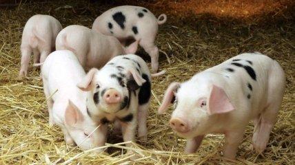 На Киевщине диагностирована классическая чума свиней