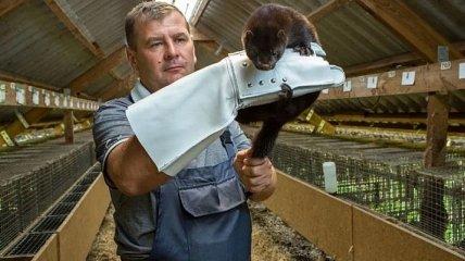 В Нидерландах работник фермы заразился коронавирусом от норки