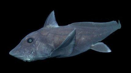 """Редкая """"акула-призрак"""" попала в объектив камеры ROV"""