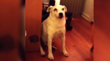 Смешной пес с неимоверным чувством вины (Видео)