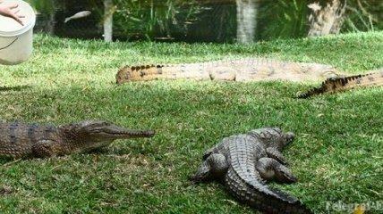 Власти Чехии позволили разведение крокодилов для продажи мяса
