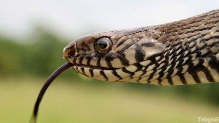 Змея убивает свою жертву с умом