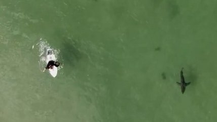 """Австралиец прославился, """"по-дружески"""" плавая в океане с акулами (видео)"""
