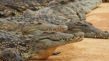 ЮАР планирует экспортировать в Украину мясо крокодилов
