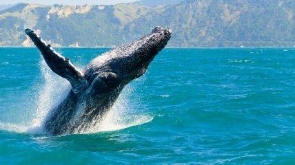 Численность горбатых китов у побережья Бразилии утроилась