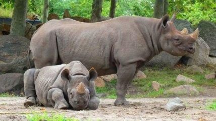 Уникальные поддельные рога смогут спасти носорогов от браконьеров