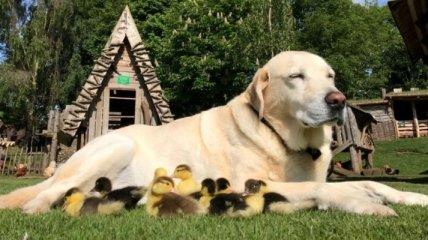 Чужих детей не бывает: пес стал папой осиротевших утят