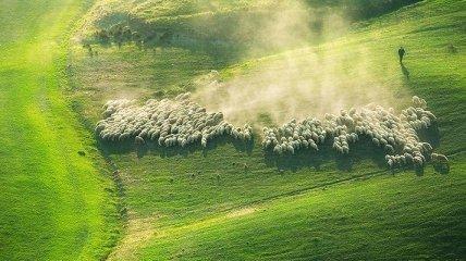 Стада овец на живописных полях Италии (Фото)