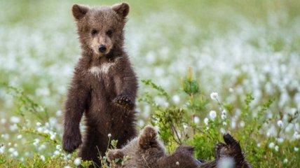 Хотели поиграть в гольф: медвежата развеселили сеть играми на спортивном поле (видео)