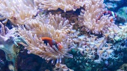 Модифицированные микроводоросли защитили кораллы от обесцвечивания