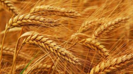 Больше всего в урожае 2021 пшеницы.