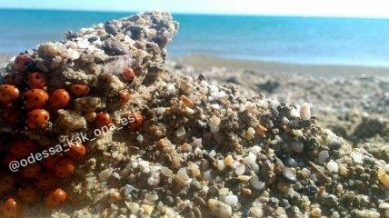 """""""Такие кусачие"""": туристы жалуются на нашествие божьих коровок на курорте под Одессой"""