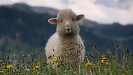 Ученые скрестили человека и овцу