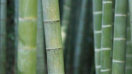 Не тот, кем считали: самый ранний бамбук оказался хвойным растением