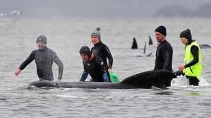 Выжили немногие: Австралия завершила операцию по спасению сотен черных дельфинов