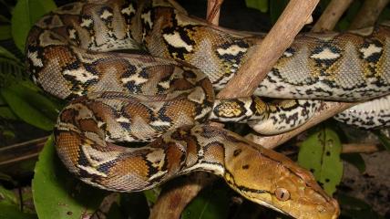 Питон не относится к ядовитым видам рептилий