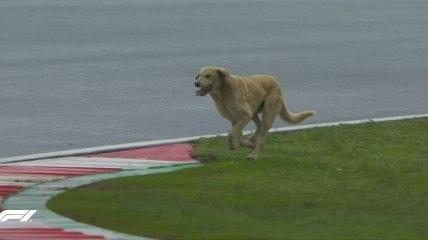 Собака забігла на трасу Формули-1 прямо під час гонки: опубліковано відео