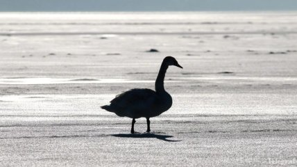 На Житомирщине пожарные спасли замерзавшего на льду лебедя