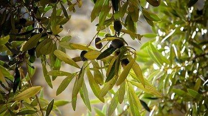Неожиданно: какую пользу несут оливковые листья