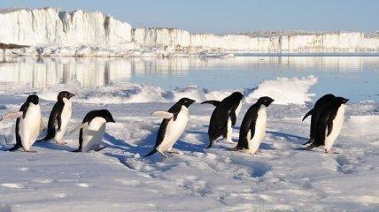 Климатические изменения грозят пингвинам вымиранием