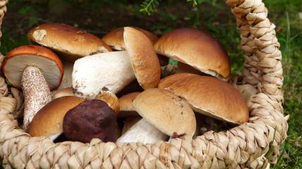 Білий гриб