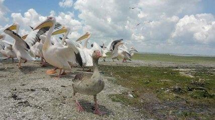 Свой среди чужих: спасенный одесситами гусь прижился в стае пеликанов (удивительные фото)