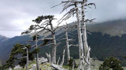 Ученые нашли самое древнее дерево Европы