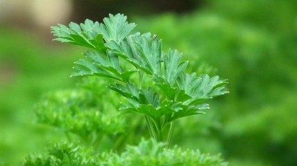 Полезная зелень: почему не стоит злоупотреблять