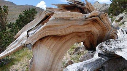 Как выглядят самые старые деревья на земле? (Фото)