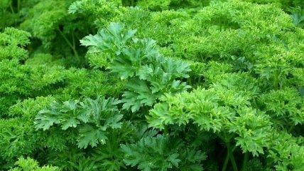 Целебная зелень, которая замедляет процессы старения