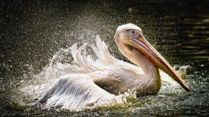 В Перу нашли останки пеликана, который жил 35 миллионов лет назад