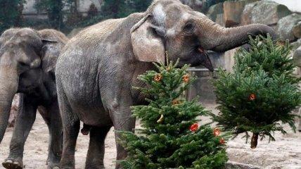 Слоны и тигры в берлинском зоопарке съели все новогодние елки (Видео)