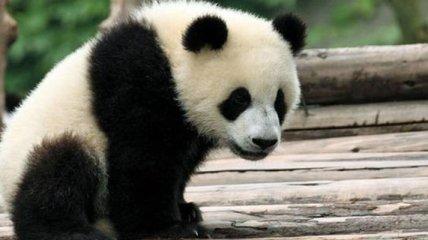 Панды, которые развлекаются на детских горках, сделают ваш день (Видео)