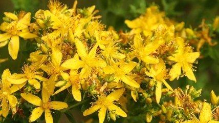 ТОП-6 трав для здоровья, которые стоит высушить летом