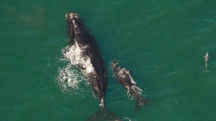 Североатлантические гладкие киты