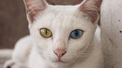 Самые уникальные и удивительные породы кошек (Фото)
