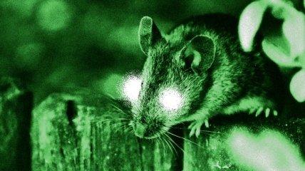 """Биологи наделили мышей """"суперзрением"""""""