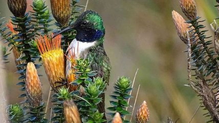 В Эквадоре был обнаружен новый вид колибри