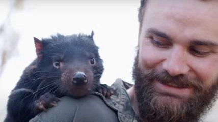 Тасманийские дьяволы вернулись в Австралию: их не видели там 3 тысячи лет (Видео)