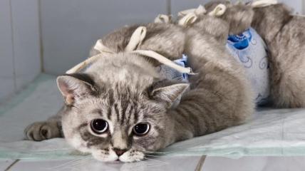 Стерилизация может уберечь кошку от онкологических заболеваний