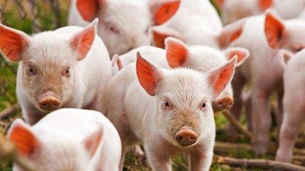 РФ временно ограничила поставки свиноводческой продукции из Украины