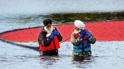 Как происходит необычный сбор урожая клюквы в Ванкувере (Фото)