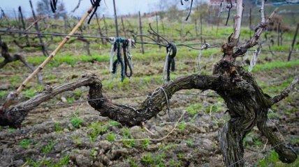 СМИ: Крымским виноделам не хватает ресурсов