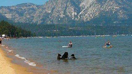 Медведица привела медвежат искупаться на людный пляж в Калифорнии (Видео)