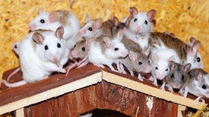 Удаление клеток-зомби избавило мышей от ожирения и тревоги
