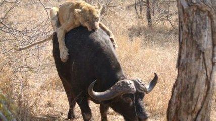 Очень голодный лев-неудачник (Фото)