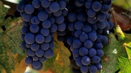 Ученые назвали советы, которые помогут правильно выбрать виноград